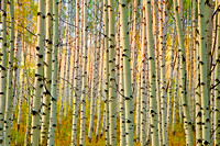 Aspens on McClure Pass II