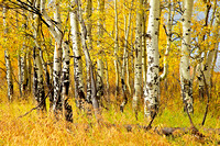 Aspens on Oxbow Bend No. 2