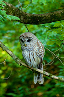 Barred Owl No. 2