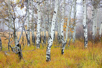Aspens in the Fog