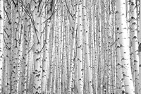 Aspens on McClure Pass