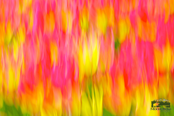 Tulips - Abstract